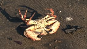 Crab at a pier in San Francisco stock footage