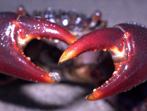 Crab with pinchers. A close up of a crab's pinchers or claws Stock Photos