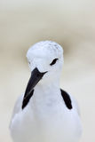 Crab Plover 1 Stock Images
