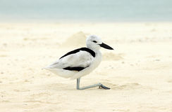 Crab Plover Royalty Free Stock Photo