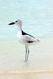Crab Plover 2 Royalty Free Stock Images
