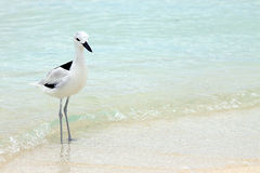 Crab Plover 3 Royalty Free Stock Photo