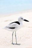 Crab Plover 5 Stock Photo