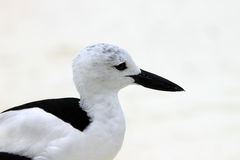 Crab Plover 6 Stock Image