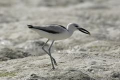 Crab plover Stock Photography