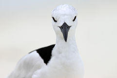 Crab Plover 7 Royalty Free Stock Images