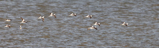 Crab-Plovers in flight Royalty Free Stock Photo