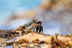 Crab Puerto Rico Royalty Free Stock Photography