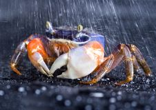 Crab in the rain. A crab is a sea animal with a flat body covered by a shell and five pairs of curved legs. The front two legs have long claws, called pincers Royalty Free Stock Photos