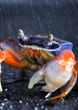Crab in the rain. A crab is a sea animal with a flat body covered by a shell and five pairs of curved legs. The front two legs have long claws, called pincers Stock Photography