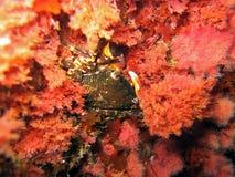 Crab in red algae Royalty Free Stock Photos