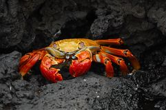 Crab, Red Klippenkrabbe Royalty Free Stock Images