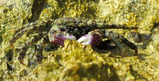 Crab on reef in egypt Royalty Free Stock Photos