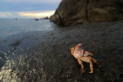 Crab on Rock Royalty Free Stock Images