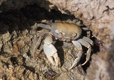 Crab on the rock Stock Images