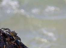 Crab Rock. A crab on a rock looking into the ocean Royalty Free Stock Image