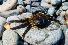 Crab on a rock. Stock Image