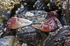 Crab on rock. At low tide surrounded by shells Stock Photography
