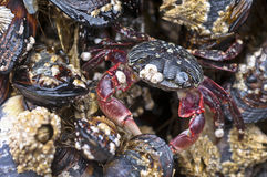 Crab on rock. At low tide surrounded by shells Stock Photos