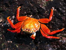 Crab on rock Royalty Free Stock Photography