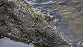 Crab on rock along seashore Royalty Free Stock Image