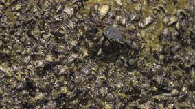 Crab on the rock at the beach stock video footage
