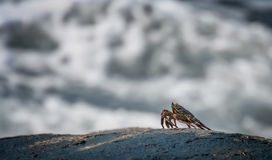 Crab on the rock Stock Image