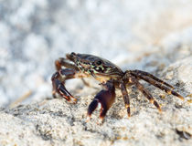 Crab on the rock Royalty Free Stock Photos