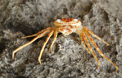 Crab on the rock Royalty Free Stock Photography