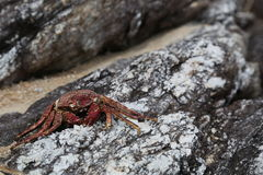 Crab on the rock. Sea animal founded on the rock royalty free stock photo
