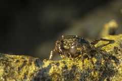 Crab on rock to the sun. Crab illuminated by the setting sun on a cliff stock image