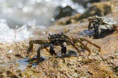 Crab on the rocks Royalty Free Stock Image