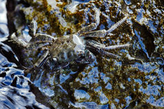 Crab on the rocky coast Stock Photography