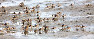 Crab run. A swarm of blue soldier crabs on mud Royalty Free Stock Images