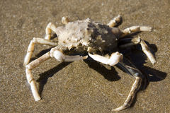 Crab in the sand 2 Stock Photo