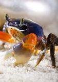 The crab on the sand. A crab is a sea animal with a flat body covered by a shell and five pairs of curved legs. The front two legs have long claws, called Stock Images