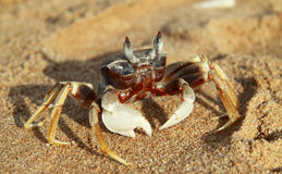 Crab on sand Stock Photos
