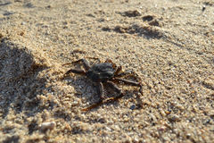 Crab on sand. Small crab crawling on sand Stock Photo