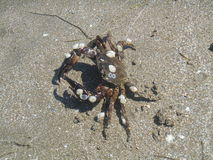 Crab on the sand Stock Image