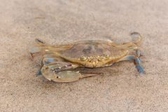 A crab in the sand of the beach royalty free stock photo