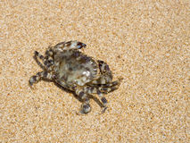 Crab on sand Stock Photography