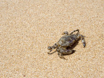 Crab on sand Royalty Free Stock Image