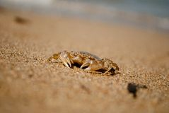Crab on sand. copyspace. Royalty Free Stock Images