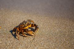 Crab on the sand, the crab is on the beach, stock photography
