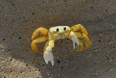Crab on the sand defends himself from you stock photos