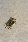 A Crab on the Sand at the Maine Shore Royalty Free Stock Image