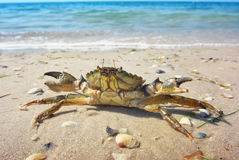 Crab on the sand Stock Images