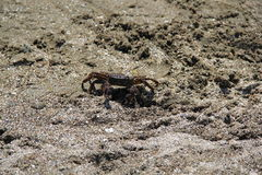 Crab on the sand, summer 2014 Royalty Free Stock Photography