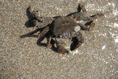 Crab on the sand, summer 2014 Stock Photos