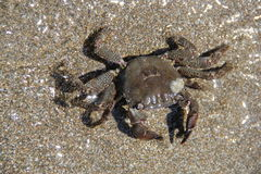 Crab on the sand, summer 2014 Stock Image